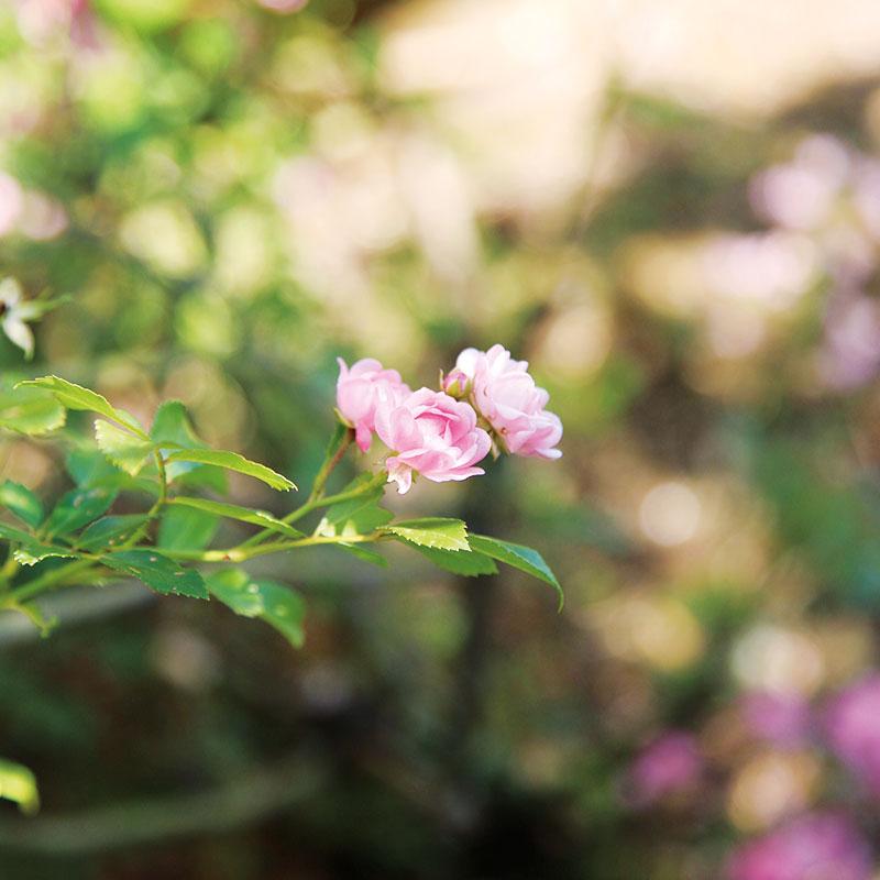 colletto villas roses